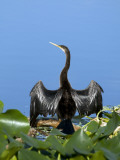 Anhinga Photographic Print by Mark Newman