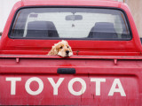 Dog Waiting on Back of Ute Photographie par Andrew Bain