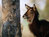 Adult Female Waterbuck (Kobus Ellipsyprimus) Photographic Print by Andrew Parkinson