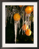 Drip Irrigation Creates Icicles and Forms an Insulation and Way of Protecting Oranges on the Trees Framed Photographic Print by Gary Kazanjian