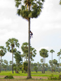 Collecting Sugar Palm Sap in Rice Fields North of Phnom Penh Photographic Print by Austin Bush