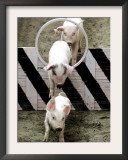 Pigs Compete the Obstacle Race at Pig Olympics Thursday April 14, 2005 in Shanghai, China Framed Photographic Print by Eugene Hoshiko