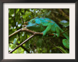 A Chameleon Sits on a Branch of a Tree in Madagascar's Mantadia National Park Sunday June 18, 2006 Framed Photographic Print by Jerome Delay