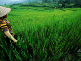 Wet Rice Is Commonly Grown in Terraced Mountain Valleys of Northern Vietnam, Tran Nua Lámina fotográfica por Stu Smucker