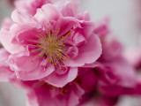 Detail of Cherry Blossom in Koraku-En Park Photographie par Brent Winebrenner