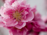 Detail of Cherry Blossom in Koraku-En Park Fotoprint van Brent Winebrenner