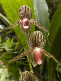 Rotschilds Slipper Orchid (Paphiopedilum Rothschildianum) Photographic Print by Anders Blomqvist