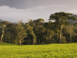 Tea Plantation Fringing Montane Rainforest Photographic Print by Ariadne Van Zandbergen