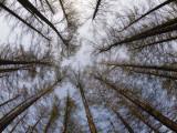 Pine Trees at Hokkaido Jingu, Near Maruyama Zoo Fotografisk tryk af Shayne Hill