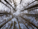 Shayne Hill - Pine Trees at Hokkaido Jingu, Near Maruyama Zoo Fotografická reprodukce