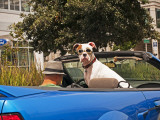 Dog Wearing Goggles, Passenger of Convertible Car on Vanness Avenue Photographic Print by Sabrina Dalbesio