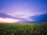 Derelict House in Canola Field Photographic Print by Shayne Hill