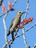 Gila Woodpecker (Melanerpes Uropygialis) Photographic Print by Mark Newman