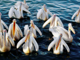 Pelicans on Lake Tana at Mango/Pelican Lake Photographic Print by Tony Wheeler