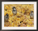 A Group of Sparrows Warm Themselves in the Noon Sun, in Lafayette Park Across from the White House Framed Photographic Print by Ron Edmonds