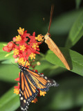 Butterflies Including Monarch Butterfly (Danaus Plexippus) Photographic Print by Ruth Eastham & Max Paoli