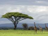 Maasai Giraffe (Giraffa Camelopardalis Tippelskirchi) Photographic Print by Ariadne Van Zandbergen