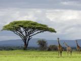 Maasai Giraffe (Giraffa Camelopardalis Tippelskirchi) Fotografiskt tryck av Ariadne Van Zandbergen