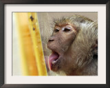A Long-Tailed Macaque Licks a Block of Frozen Bananas Sunday, November 26, 2006 Framed Photographic Print by David Longstreath