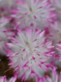 Unidentified Western Australian Wildflower, Australian National Botanical Gardens Photographic Print by Simon Foale