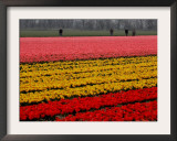 Workers amidst Fields of Tulips and Daffodils near Sint Maartensvlotbrug, Netherlands Framed Photographic Print by Peter Dejong