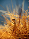 Lizard on Spinifex Grass Photographic Print by Paul Dymond