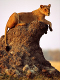 Lioness (Panthera Leo) Watching Surroundings from Termite Mound Photographic Print by Andrew Parkinson