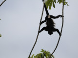 Male Mantled Howler Monkey (Alouatta Palliata) Splayed in Tree Photographic Print by Shannon Nace