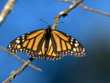Monarch Butterfly (Danaus Plexippus) Fotografisk tryk af Mark Newman