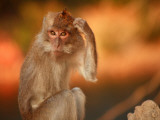 Long-Tailed Macaque Photographic Print by Andrew Bain