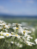 Daisies at Lavender Farm in Furano Photographic Print by Shayne Hill
