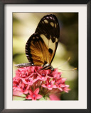 A Butterfly Rests on a Flower at the America Museum of Natural History Butterfly Conservatory Framed Photographic Print by Jeff Christensen
