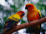 Parrots at Graham Hall Nature Sanctuary Lámina fotográfica por Richard l'Anson