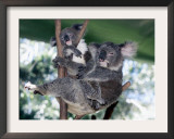 A Mother Koala Proudly Holds Her Ten-Month-Old Baby, Sydney, Australia, November 7, 2002 Framed Photographic Print by Russell Mcphedran