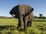 African Elephant (Loxodonta Africana Africana), Kapama Game Reserve Photographic Print by Ariadne Van Zandbergen
