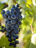 Wine Grapes Hanging from Vine Photographic Print by Rachel Lewis