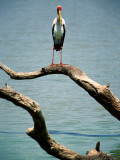 Yellow-Billed Stork, Lake Nzelekela Photographic Print by Mark Daffey