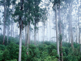 Wielangta Forest in Mist Photographic Print by Rob Blakers