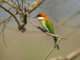 Chestnut-Headed Bee-Eater (Merops Leschenaulti) Photographic Print by Nicholas Reuss