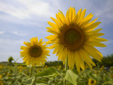 Sunflowers Photographic Print by Mark Daffey