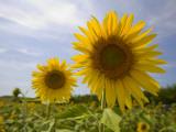 Sunflowers Photographic Print by Mark Daffey