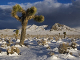 Joshua Trees at Darwin Plateau Covered with Snow after Winter Storm Photographic Print by Witold Skrypczak