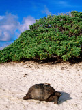 Giant Tortoise on Beach Photographic Print by Ralph Hopkins