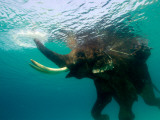 Male Indian Elephant (Elephas Maximus Indicus) Swimming Underwater Photographie par Astrid Schweigert