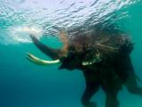 Male Indian Elephant (Elephas Maximus Indicus) Swimming Underwater Fotografie-Druck von Astrid Schweigert