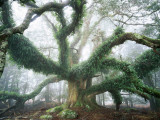 Largest known Myrtle Tree in the World Stampa fotografica di Rob Blakers
