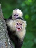 White-Faced Capuchin (Cebus Capucinus) Protects its Baby at Monkey Island Near Merida Fotografisk tryk af Paul Kennedy
