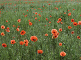 Field of Red Poppies Near Lagow Photographic Print by Witold Skrypczak