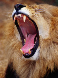 Lion Yawns in Moremi Wildlife Reserve Fotografie-Druck von Richard l'Anson