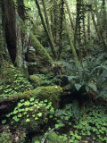 Temperate Rainforest with Ferns and Moss-Covered Tree Trunks Photographic Print by Brent Winebrenner